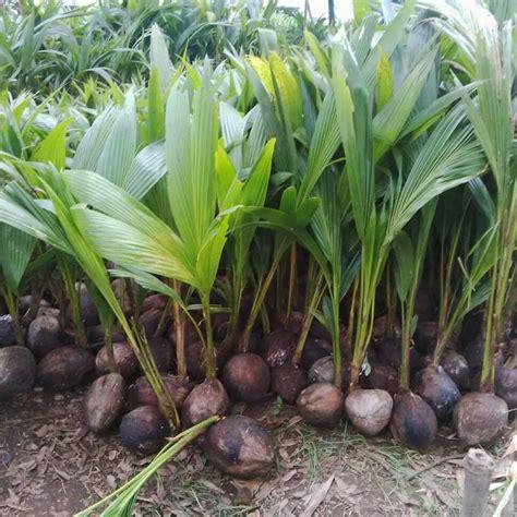 jual bibit kelapa genjah entog madiun  jual