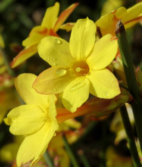 winter jasmine tips  guidance     care