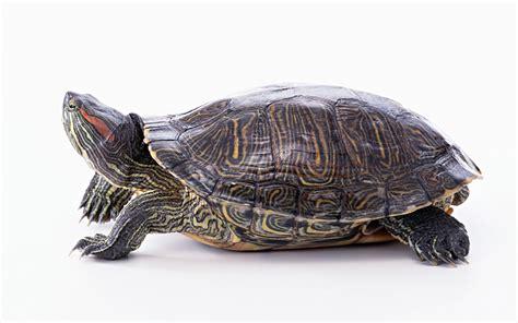 imagenes de tortugas raras fotos de tortugas im 225 genes de tortugas de agua y tierra en hd