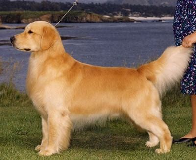 why do golden retrievers howl do golden retrievers need to be groomed quora