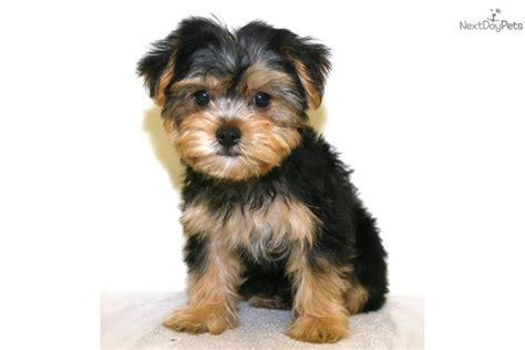 house yorkie puppy meet franklin a terrier yorkie puppy for sale for 450 teacup