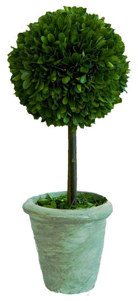 real topiary trees for sale real preserved boxwood single topiary 12