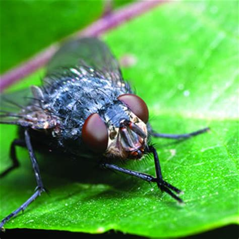 house fly catseye pest control