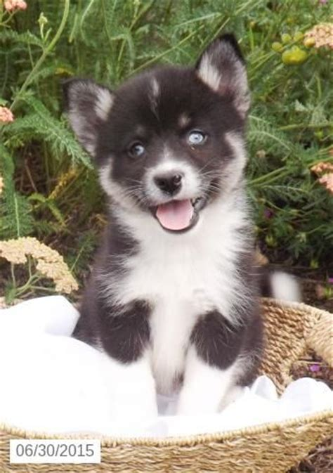 pomsky puppies for sale in nc 25 best ideas about pomsky puppies for sale on pomsky for sale huskies