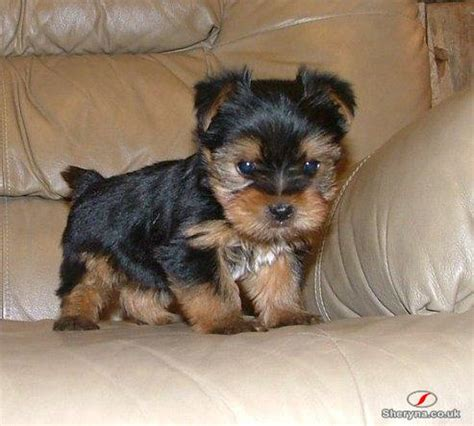 teacup yorkies for sale in amarillo tx akc reg and yorkie puppies for adoption breeds picture