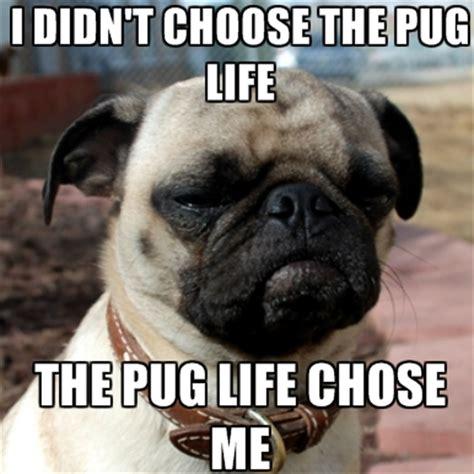 Pug Life Meme - the pug life i didn t choose the thug life the thug