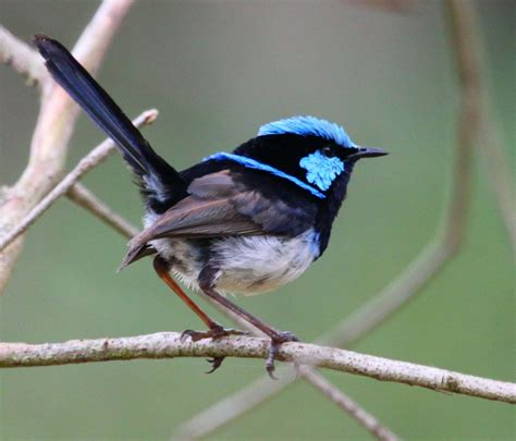 fairy wrens birds in backyards