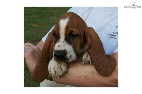 basset hound puppies for sale in arkansas basset hound puppy for sale near jonesboro arkansas 2b51e6db 4fe1