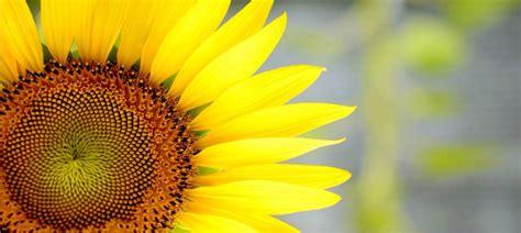 girasole in vaso coltivare il girasole nell orto o in vaso