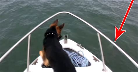 dog boat dolphin dog dives off boat when he sees dolphins
