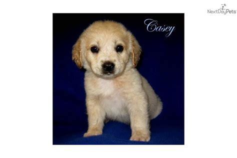 goldador puppies for adoption goldador breeds picture