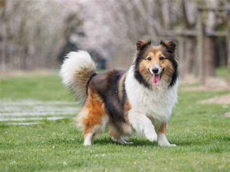 why do puppies their tails why do dogs wag their tails american kennel club