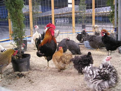 Backyard Chicken Farmer Backyard Poultry Farming