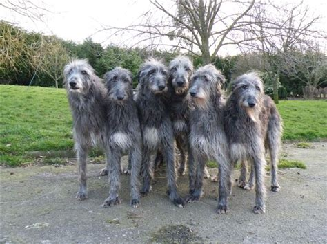 scottish deerhound puppies scottish deerhound everything best dogs