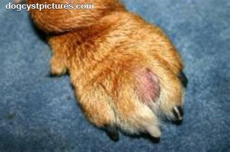 cysts on dogs sebaceous cysts