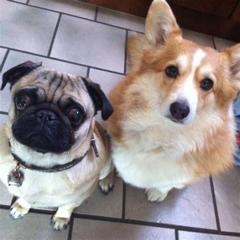 pug and corgi pug and corgi