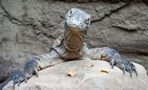 dragons   denver zoo komodo dragons