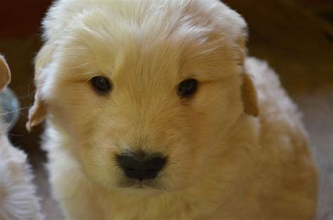 amica golden retrievers silvio berlusconi cani harley cucciola di golden retriever