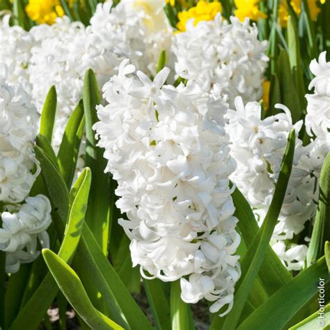 fiore giacinto giacinti da cespuglio carnegie giacinti meilland