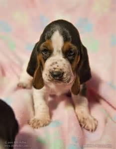 newborn basset hound puppies