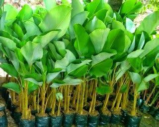pohon pisang hias pohon pisang pisangan pohon pisang