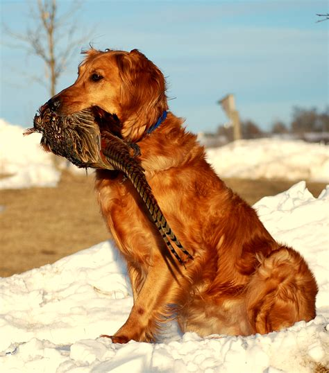 golden retrievers top golden retriever sites forums top golden retriever breeders wisconsin dog life photo