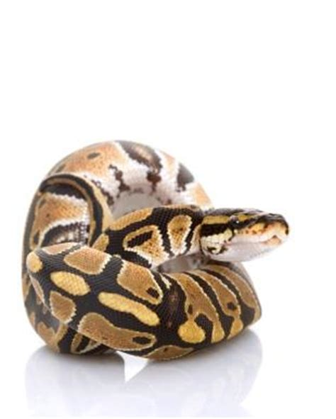 ball python heat l ball python facts lovetoknow