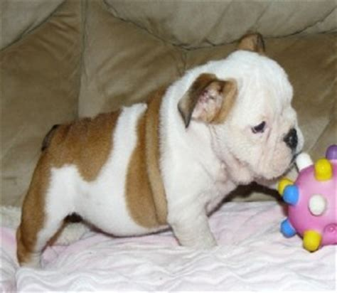 oregon classifieds puppies dogs oregon city or free classified ads