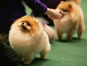 different pomeranian haircuts grooming different types of coats breeds picture