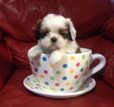 tea cup shih tzu puppies teacup shih tzus for sale ready now shrewsbury shropshire pets4homes