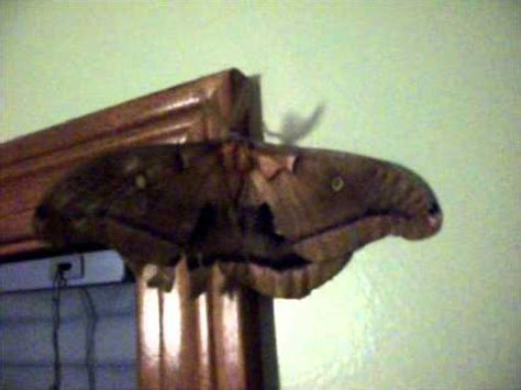 moths in my bedroom giant polyphemus moth the size of a bird youtube