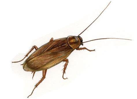 blatte volanti blatte o scarafaggi torino cordella disinfestazioni