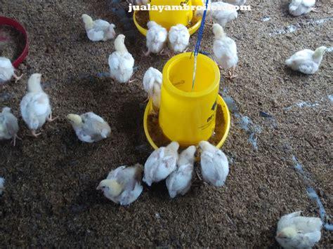 Jual Bibit Ayam Broiler Di Bogor jual ayam broiler di depok jual ayam broiler