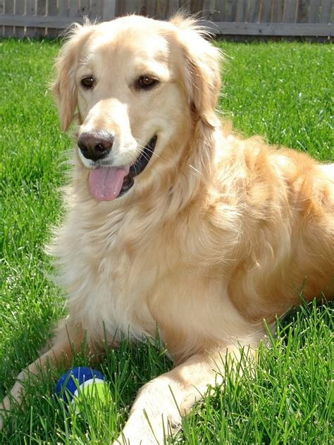 golden retriever with children best dogs for with autism dogvills