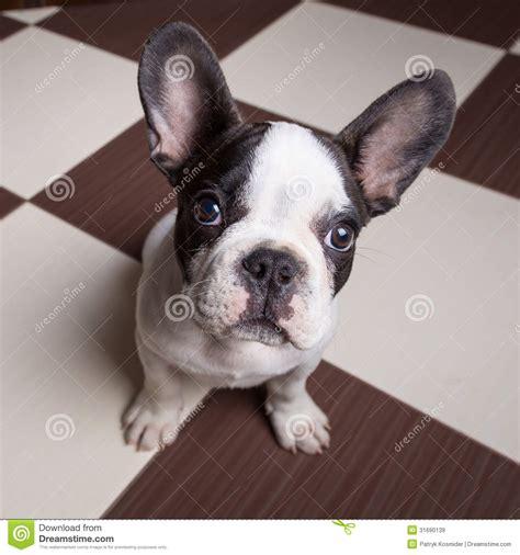 free bulldog puppies to home bulldog puppy at home royalty free stock images image 31690139