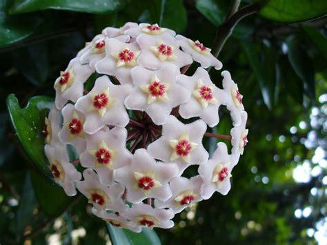 flowers plants plants flowers 187 hoya carnosa