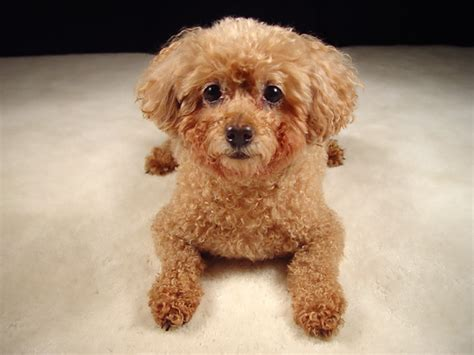 mini poodle puppies miniature poodle breed health