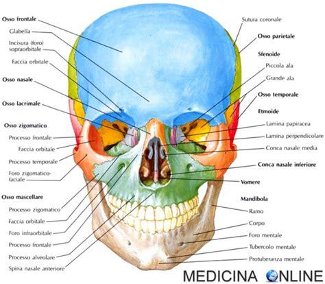 test di anatomia osso mascellare cranio anatomia e funzioni in sintesi