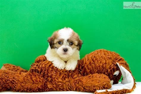 shichon puppies for sale in ky 172 best images about loving designer puppies for sale on morkie puppies