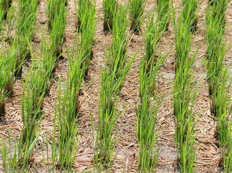 grow rice hgtv
