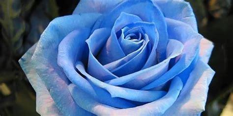imagenes rosas negras y azules significado de las rosas florpedia com
