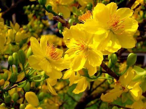 beautiful vietnam s tet flower photos xcitefun net