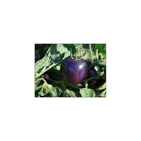 Tomato Purple Seeds buy tomato seeds purple tomato plant tomato from seed