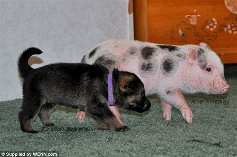 will you be my friend meet the mini piglets and puppies