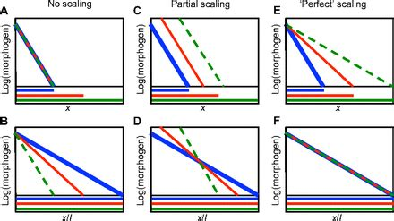 pattern formation scaling mechanisms of scaling in pattern formation development