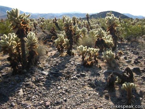 Cholla Cactus Garden by Cholla Cactus Garden Joshua Tree Hikespeak