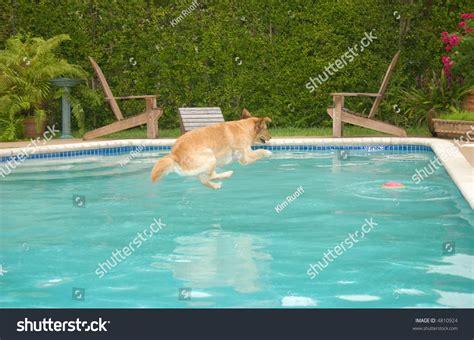 do golden retrievers swim golden retriever diving into swimming pool for frisbee stock photo 4810924