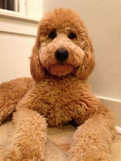 miniture golden doodle hair cuts 47 best grooming images on pinterest doggies