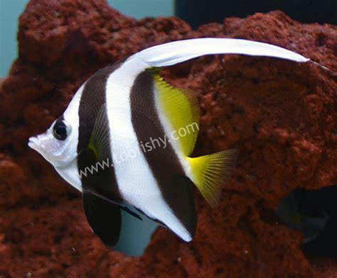Aquarium Magnetic Glass Cleaner Hx 01max something fishy aquarium livestock fish heniochus bannerfish xl