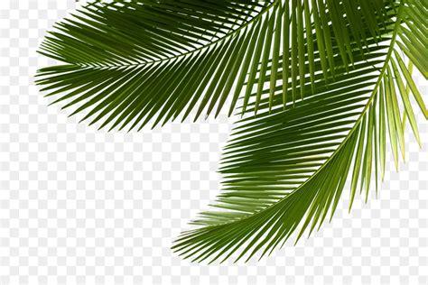 palm tree leaf png  palm tree leafpng transparent
